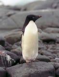 Pinguino del Adelie Fotografia Stock