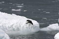 Pinguino del Adelie (adeliae del Pygoscelis) Fotografia Stock Libera da Diritti