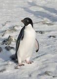 Pinguino del Adelie che si leva in piedi nella neve. Fotografie Stock