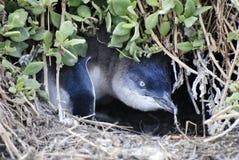 Pinguino del bambino in nido a terra su Phillip Island Immagini Stock