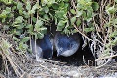 Pinguino del bambino in nido a terra su Phillip Island Fotografie Stock
