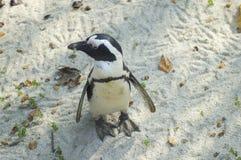 Pinguino del Capo o pinguino africano o pinguino dai piedi neri | Spheniscus demersus. South african penguin at Zoom, a park near Torino stock image