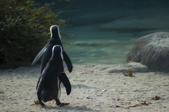 Pinguino del Capo o van pinguinodai van pinguinoafricano o piedineri | Spheniscusdemersus Royalty-vrije Stock Fotografie