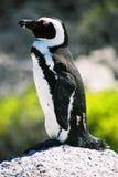 Pinguino del Galapagos Immagine Stock