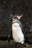Pinguino del Galapagos immagine stock libera da diritti
