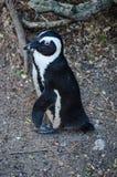 Pinguino del Jackass o dell'Africano Immagine Stock Libera da Diritti