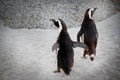 Pinguino del vapore, amicizia Fotografia Stock