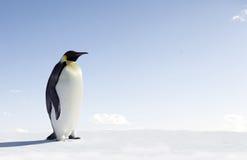 Pinguino dell'imperatore Immagine Stock Libera da Diritti