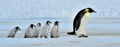 Pinguino dell'imperatore Immagine Stock