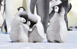 Pinguino dell'imperatore fotografie stock libere da diritti
