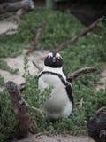 Pinguino dell'uccello Fotografie Stock