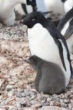 Pinguino di Adélie del pulcino e dell'adulto Immagine Stock Libera da Diritti