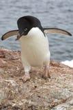 Pinguino di Adelie che è una pietra 1 Immagini Stock Libere da Diritti