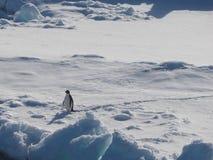 Pinguino di Adelie su banchisa in Antartide Fotografia Stock Libera da Diritti