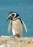 Pinguino di Chinstrap Immagine Stock Libera da Diritti