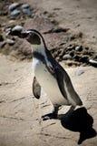 Pinguino di Chinstrap Fotografia Stock Libera da Diritti
