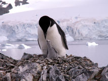 Pinguino di Chinstrap con il pulcino Fotografie Stock