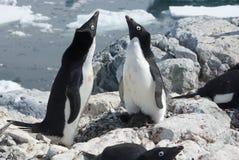 Pinguino di due Adelie vicino al nido. Immagine Stock