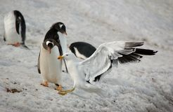 Pinguino di Gentoo Fotografia Stock