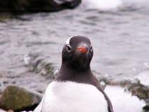Pinguino di Gentoo Immagini Stock Libere da Diritti