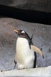 Pinguino di Gentoo Immagine Stock