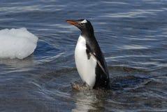 Pinguino di Gentoo Immagine Stock Libera da Diritti