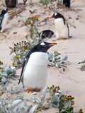 Pinguino di Gentoo Fotografie Stock Libere da Diritti