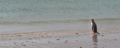 Pinguino di Gentoo alla spiaggia che esamina l'oceano Immagine Stock