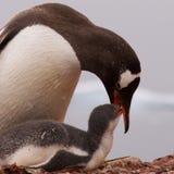 Pinguino di Gentoo che alimenta i giovani in Antartide Fotografia Stock Libera da Diritti