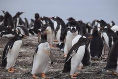 Pinguino di Gentoo che cammina sulla spiaggia Fotografia Stock Libera da Diritti