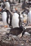 Pinguino di Gentoo che cammina sulla spiaggia Immagini Stock Libere da Diritti