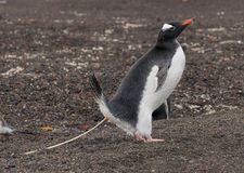 Pinguino di Gentoo che pooping nell'azione Immagine Stock