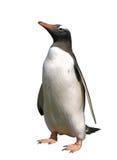 Pinguino di Gentoo con il percorso di residuo della potatura meccanica immagini stock libere da diritti