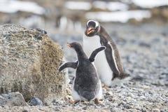Pinguino di Gentoo con il pulcino fotografia stock libera da diritti