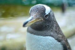 Pinguino di Gentoo fronte-su Immagini Stock Libere da Diritti