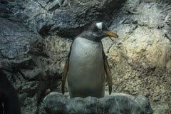 Pinguino di Gentoo a KAIYUKAN Fotografie Stock Libere da Diritti