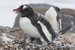 Pinguino di Gentoo nel nido durante precipitazioni nevose Fotografie Stock