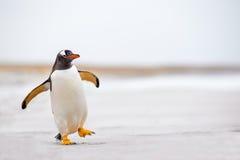 Pinguino di Gentoo (pygoscelis papua) che cammina ondeggiando avanti su una sabbia bianca Immagini Stock Libere da Diritti