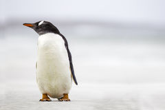 Pinguino di Gentoo (pygoscelis papua) che sta su una spiaggia Copi Spac Fotografia Stock Libera da Diritti