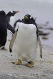 Pinguino di Gentoo (pygoscelis papua) a punto volontario, Malvinas I Fotografie Stock Libere da Diritti