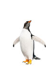 Pinguino di Gentoo sopra fondo bianco Fotografia Stock