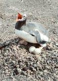 Pinguino di Gentoo sull'uovo Immagini Stock Libere da Diritti
