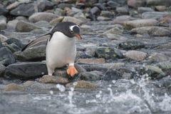 Pinguino di Gentoo sulla spiaggia immagini stock libere da diritti
