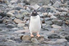 Pinguino di Gentoo sulla spiaggia immagine stock