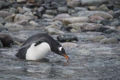 Pinguino di Gentoo sulla spiaggia immagine stock libera da diritti