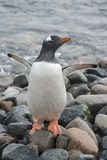Pinguino di Gentoo sulla spiaggia immagini stock