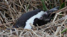Pinguino di Humbolds che guarda dal nido erboso archivi video