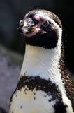 Pinguino di Humboldt Immagini Stock