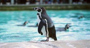 Pinguino di Humboldt Immagine Stock Libera da Diritti