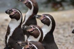 Pinguino di Humboldt Fotografie Stock Libere da Diritti